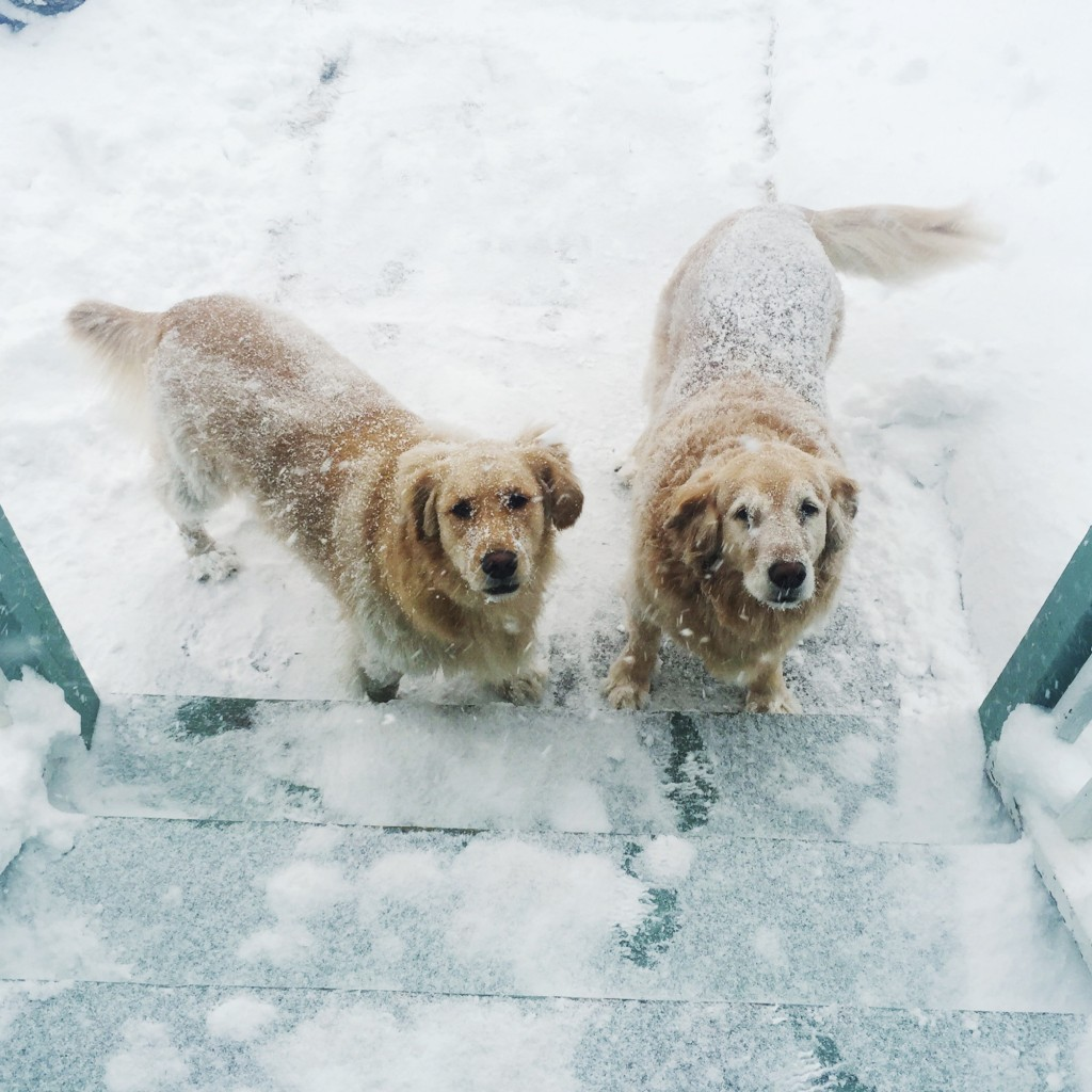 my beautiful golden retrievers in the snow. Willow & Selah